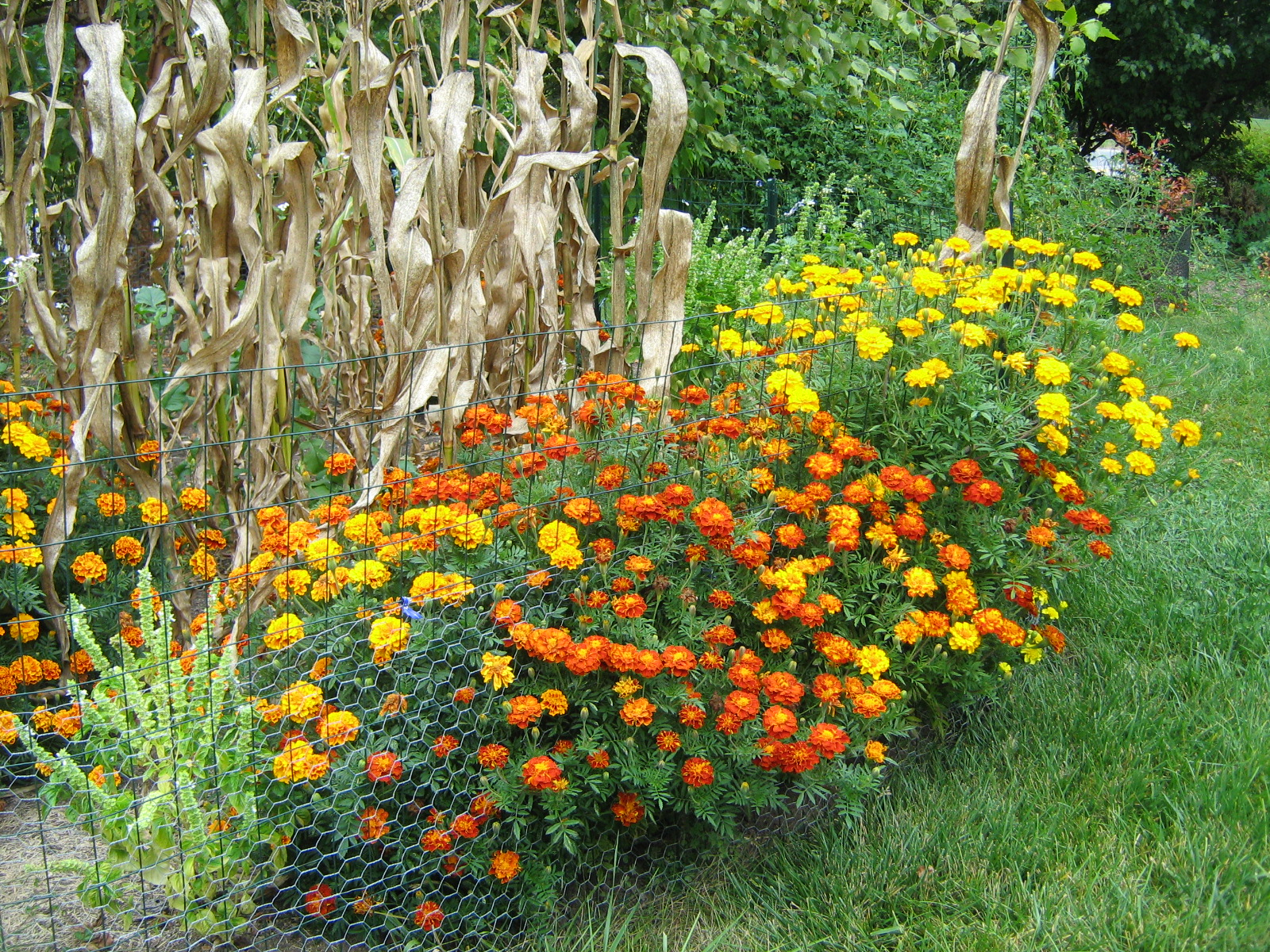 how to cut back marigolds