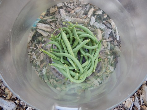 Today's bean harvest (5 July)