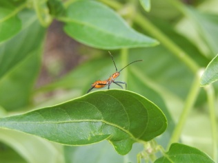 I remember the first time I saw these kinds of bugs on a tomato plant I killed them all...