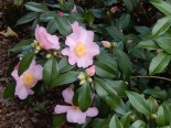 Camellias just started blooming