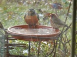 One robin + one house finch