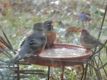 Two robins + one house finch