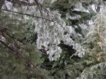 White pine coated in ice