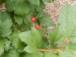 Highbush cranberry (not yet ripe, I tried one, feh)