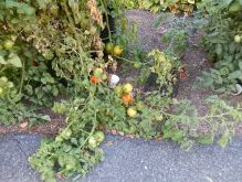 The tomato vine that ate New York